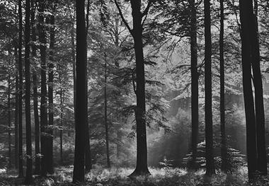 Fototapete schwarz weiß wald  Fototapete WALD SCHWARZ WEIß - Fototapeten präsentiert von Klang und ...